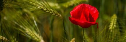 Red Poppy in Wheat Field