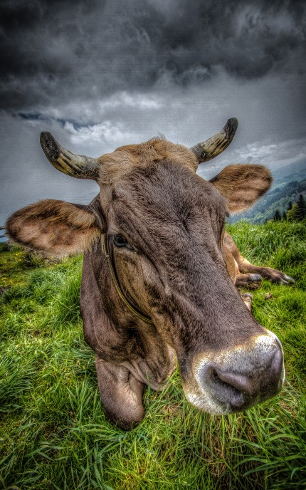 Swiss Cow enjoying a Photo Shoot